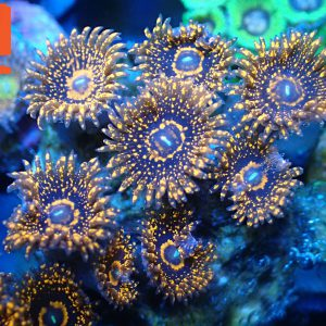 Darth Maul Zoanthid