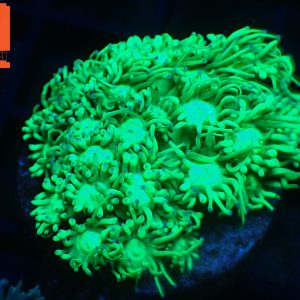 Neon Green Gonipora